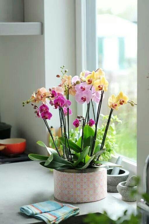 орхидеи в квартире
