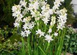 цветы туберозы_фото