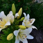 белые лилии_фото