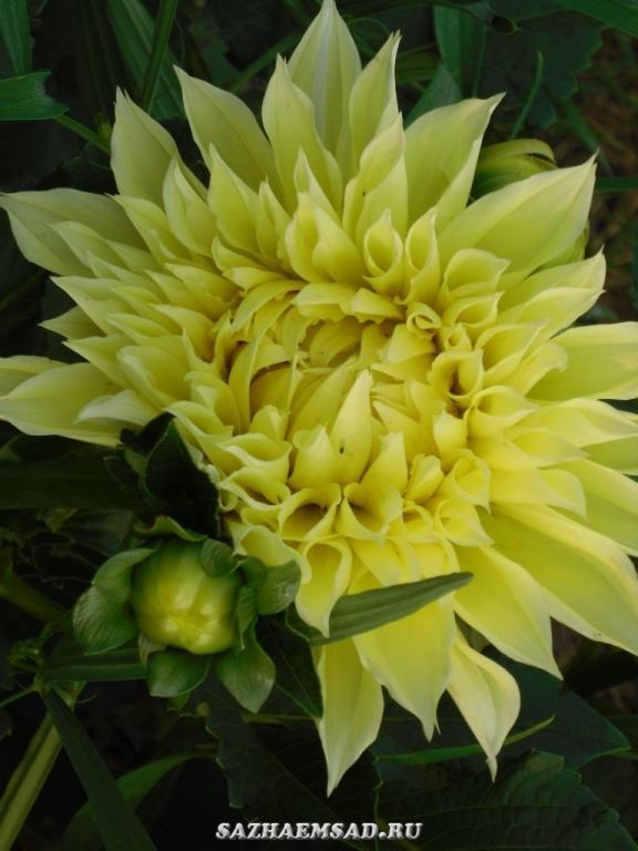 Георгин крупноцветковый Кельвин Флудлайт (Kelvin